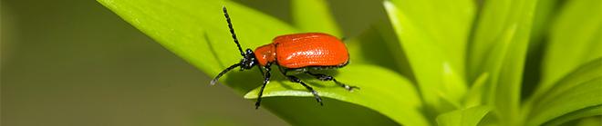 MG-Lily-Beetle-2453192