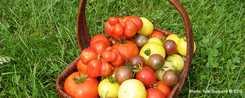 Heirloom samples grown summer 2012